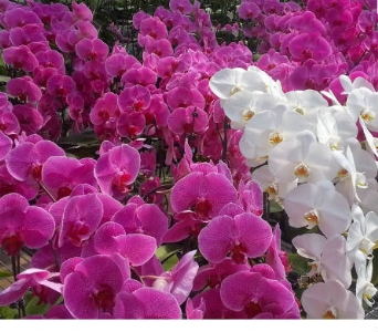 Local Farm Orchid plants in Orinda CA, Misaghi Design Orinda Florist