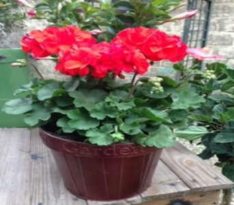 Red Geranium  in Ambridge PA, Heritage Floral Shoppe
