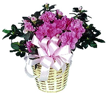 Azalea in Dallas TX, Petals & Stems Florist