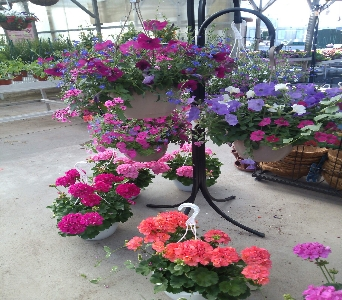 Annual Hanging Basket in Bowling Green OH, Klotz Floral Design & Garden