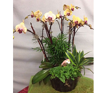 Multi-Colored Phalaenopsis Orchid Plant in Oakland CA, J. Miller Flowers and Gifts