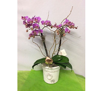 Gorgeous Multi-Stemmed Phaleonopsis Orchid Plant in Oakland CA, J. Miller Flowers and Gifts