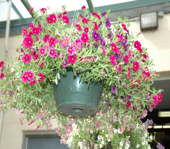 Hanging Basket in Northfield MN, Forget-Me-Not Florist