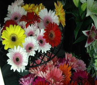 MN Grown Gerberas in Northfield MN, Forget-Me-Not Florist