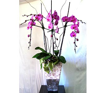 Large Triple Orchid in San Diego CA, The Floral Gallery