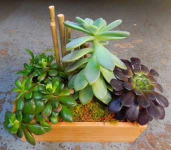 Succulent Box Garden in New York NY, Starbright Floral Design