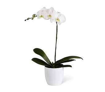 White Orchid Planter in Ajax ON, Reed's Florist Ltd