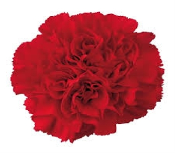 Red Carnation in Mount Dora FL, Claudia's Pearl Florist