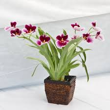 Orchid Plants from California Greenhouses in Mayfield Heights OH, Mayfield Floral