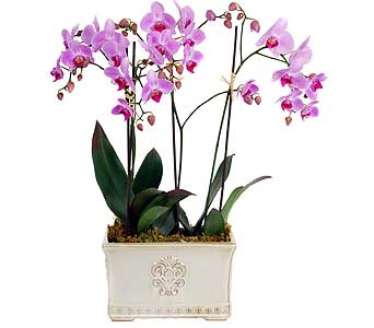 Phalaenopsis Orchid Plant Planter in Madison WI, Felly's Flowers