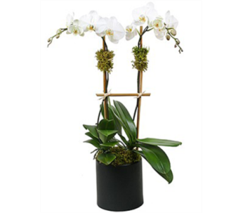 Blooming Orchids in Moline IL, K'nees Florists