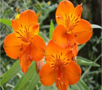 Orange Alstroemeria in Mount Dora FL, Claudia's Pearl Florist