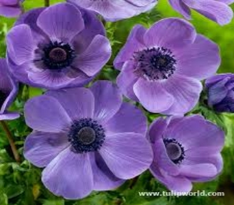 Purple Anemone in Mount Dora FL, Claudia's Pearl Florist