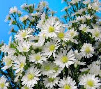 White Monte Cassino Aster in Mount Dora FL, Claudia's Pearl Florist