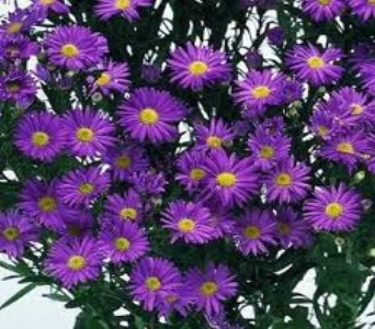 Purple Monte Cassino Aster in Mount Dora FL, Claudia's Pearl Florist