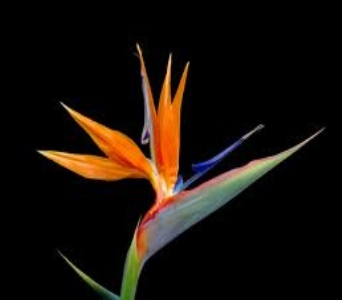 Bird of Paradise in Mount Dora FL, Claudia's Pearl Florist