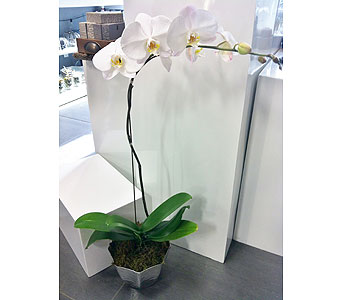 Contemporary Orchid Plant in Thornhill ON, Orchid Florist