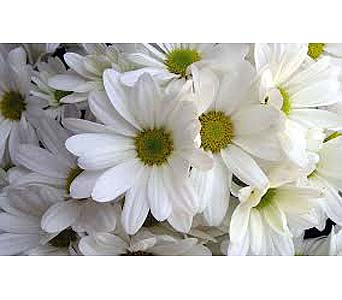 Flower Market Special - White Daisies in Timmins ON, Timmins Flower Shop Inc.