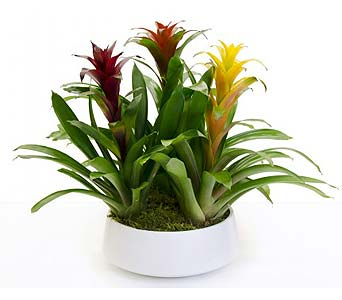 Triple Bromeliad in Palm Springs CA, Palm Springs Florist, Inc.