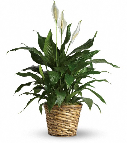 Simply Elegant Spathiphyllum - Medium in Fort Worth TX, TCU Florist