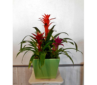 Tres Bromeliads in Dallas TX, Petals & Stems Florist