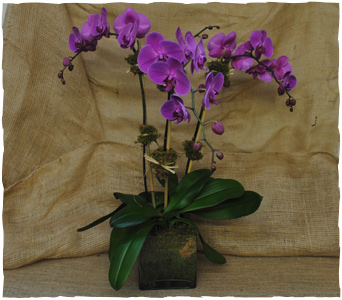 Triple Orchid-purple in New York NY, Starbright Floral Design
