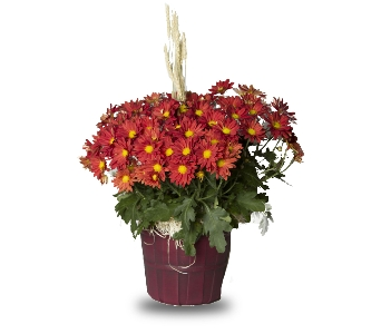 Autumn Blaze Mum Plant in Oshkosh WI, House of Flowers