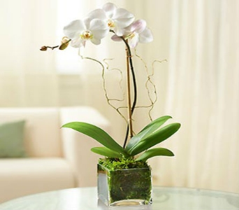 Phalaenopsis Orchid in Arizona, AZ, Fresh Bloomers Flowers & Gifts, Inc