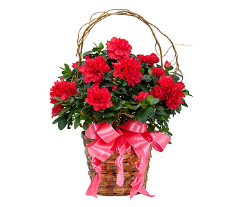 Graceful Azalea in Schaumburg IL, Deptula Florist & Gifts, Inc.