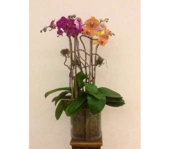 Triple Stem Orchid Plant in Houston TX, River Oaks Flower House, Inc.