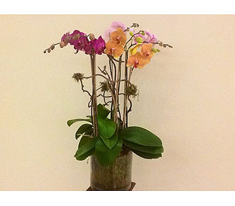 Double stem Orchid plant in Houston TX, River Oaks Flower House, Inc.