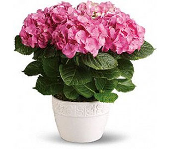 potted Pink Hydrangea in Bellevue WA, CITY FLOWERS, INC.