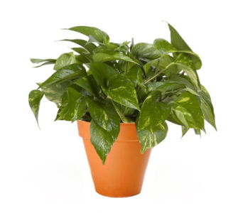 Pothos Plant in Princeton, Plainsboro, & Trenton NJ, Monday Morning Flower and Balloon Co.