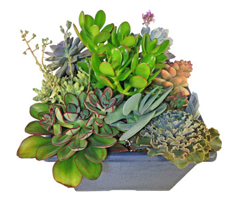 Succulent Planter in Baltimore MD, Raimondi's Flowers & Fruit Baskets