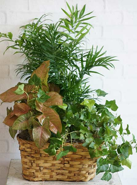 Triple Plant Basket in Raleigh NC, Fallons Creative Flowers
