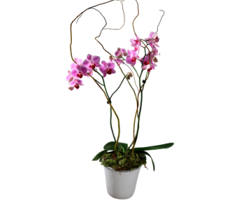 Tuscan Pink Dendrobium in Detroit and St. Clair Shores MI, Conner Park Florist