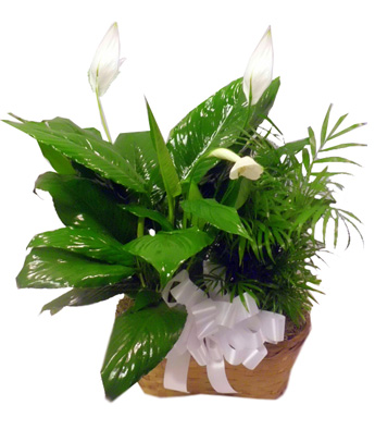 Double Plant Basket in Raleigh NC, Bedford Blooms & Gifts