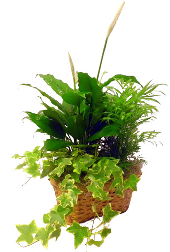 Triple Plant Basket in Raleigh NC, Johnson-Paschal Floral Company