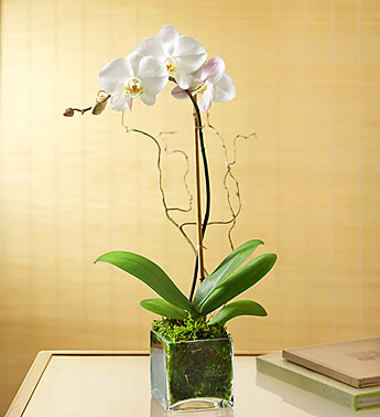 Elegant Orchid in Camp Hill and Harrisburg PA, Pealer's Flowers