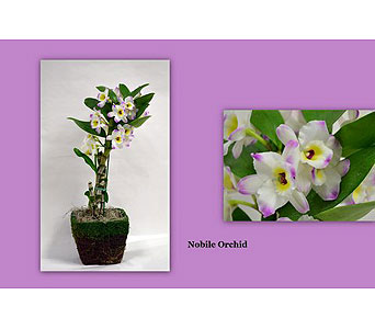 Nobile Orchid in Albuquerque NM, Silver Springs Floral & Gift