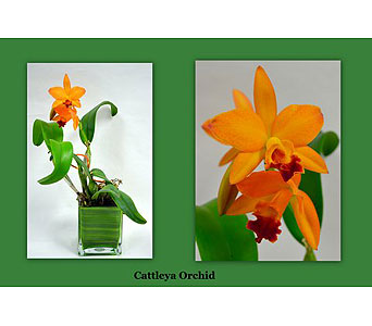 Cattleya Orchid in Albuquerque NM, Silver Springs Floral & Gift