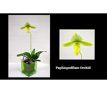 Paphiopedilum Orchid in Albuquerque NM, Silver Springs Floral & Gift