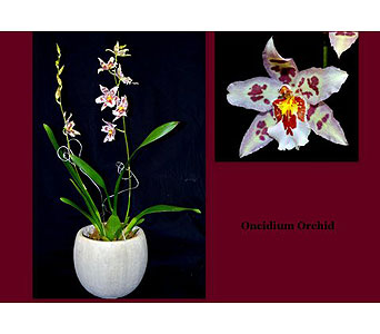 Oncidium Orchid in Albuquerque NM, Silver Springs Floral & Gift