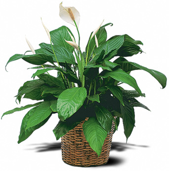 Medium Peace Lily in McLean VA, MyFlorist