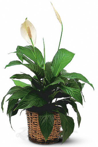 Small Peace Lily in McLean VA, MyFlorist