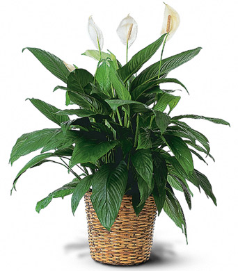 Large Peace Lily in McLean VA, MyFlorist
