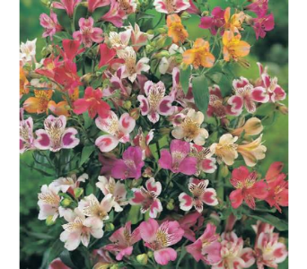 Alstroemeria in High Ridge MO, Stems by Stacy