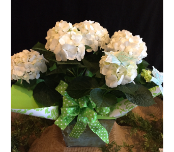 Blooming Hydrangea Plant in Williamsburg VA, Morrison's Flowers & Gifts