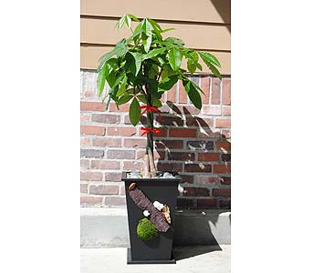Get Towering Money Tree in Rowland Heights CA, Charming Flowers