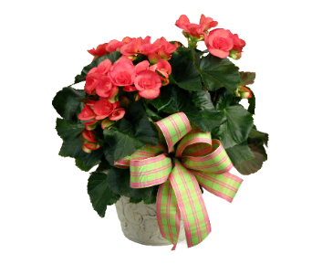 Beauteous Begonia in Indianapolis IN, McNamara Florist